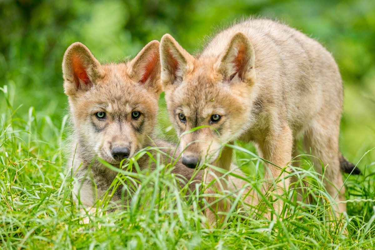 Gambling wolves take more risks than dogs science research news gambling wolves take more risks than dogs science research news frontiers fandeluxe Images