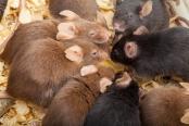 mice-communication-translational-research