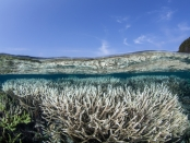 Researchers lay the foundation for genetically engineering a species of microalgae that live in corals to stop a global coral bleaching catastrophe