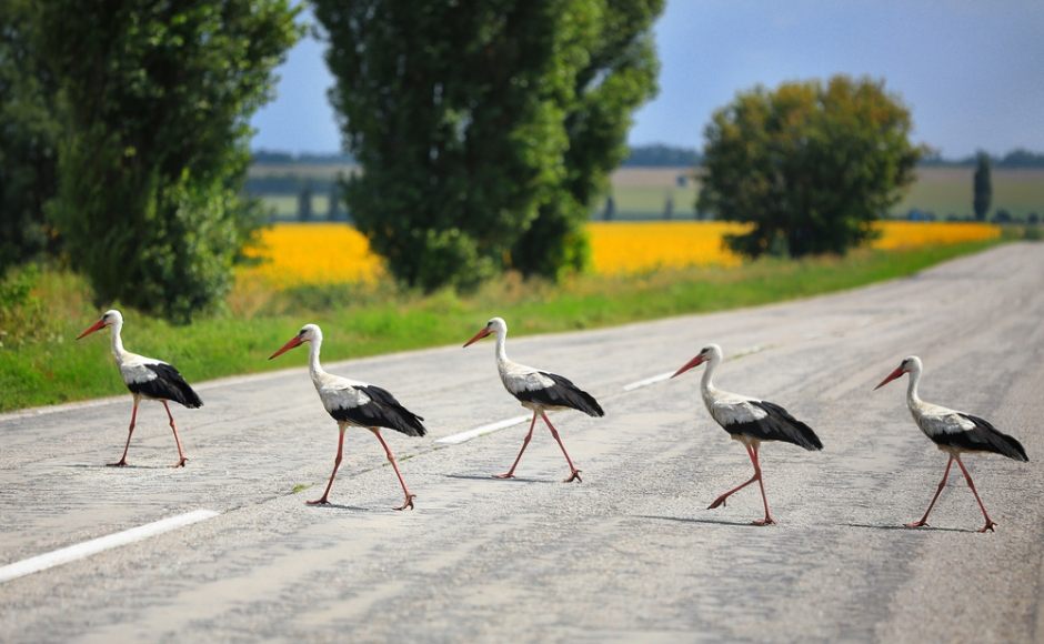 Birds can find roads challenging - they are less likely to be found next to roads and are hesitant to cross them.