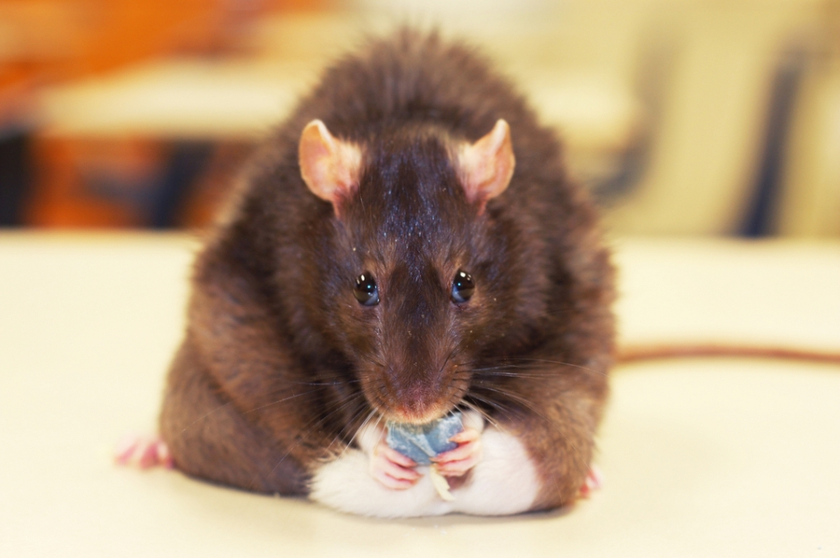 Exercise altered the way the rats' bones metabolised energy from food, changing energy pathways that disrupt the body's response to a high-calorie diet.