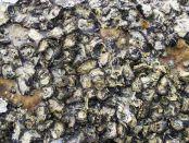 海洋保护区生境恢复牡蛎