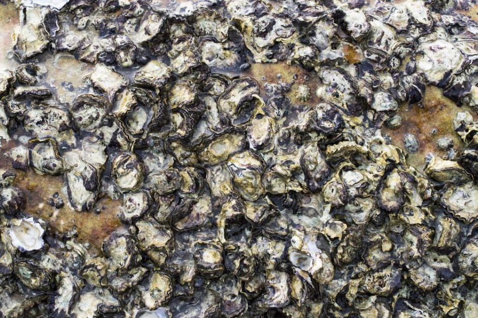 marine-protected-areas-habitat-restoration-oyster