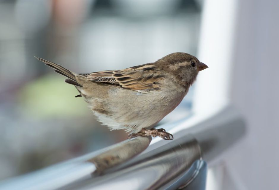 Sparrow-city-pollution-diet
