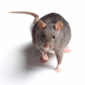 Paraplegic rats and stem cell treatment