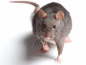 截瘫大鼠与干细胞治疗