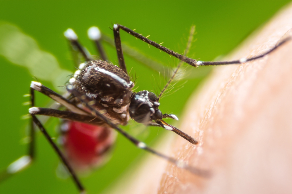 Mosquitoes more likely to transmit dengue virus in hot weather