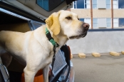 A chicken-flavored electrolyte drink could help sniffer dogs stay hydrated