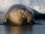 万博亚洲体育前沿海洋科学:从象海豹迁徙音乐制作 - 卡洛斯·杜阿尔特,丹尼尔·科斯塔,保罗·赖克
