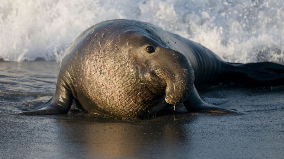 Frontiers in Marine Science: Making music from elephant seal migrations - Carlos Duarte, Daniel Costa, Paul Riker