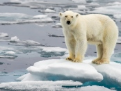 万博亚洲体育海洋科学前沿: Traditional knowledge sheds light on climate change and polar bear ecology in East Greenland