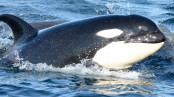 Frontiers in Marine Science: Groundbreaking non-invasive technique uses DNA to detect killer whales (orcas) in the ocean