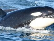 万博亚洲体育前沿海洋科学:开创性的非侵入性技术使用DNA在海洋中,以检测虎鲸(虎鲸)