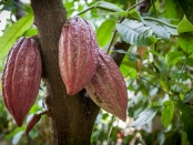 万博亚洲体育植物科学前沿:强大的基因编辑工具CRISPR-CAS9可以帮助培育出表现出良好特性的可可树,如增强抗病能力。