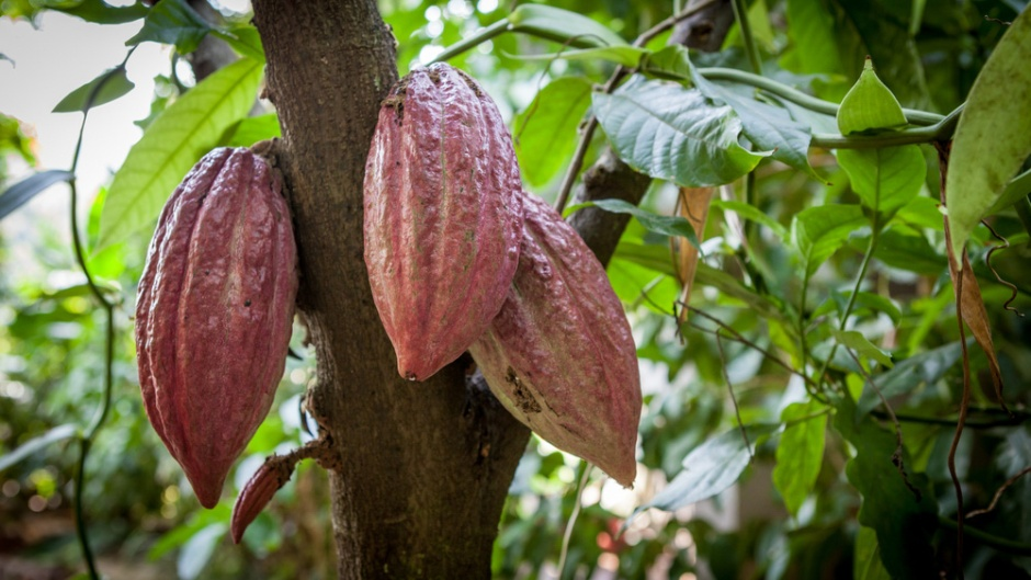 Frontiers in Plant Sciences: The powerful gene-editing tool CRISPR-Cas9 could help to breed cacao trees that exhibit desirable traits such as enhanced resistance to diseases