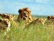 为了应对狮子数量的急剧下降,保护研究应该考虑野生猎物,牲畜和环境,不仅是人与狮子的互动,而且超越了生物学领域,野生动物保护和环境科学,包括生态学,经济学,社会学与人文:生态学与进化的前沿万博亚洲体育