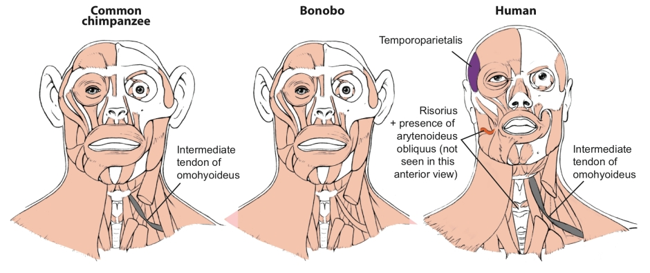 Head Muscles of Common Chimpanzees, Bonobos and Humans Are Very Similar (IMAGE)