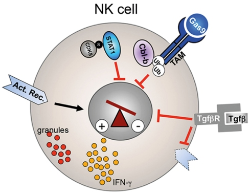 Figure showing the regulation of NK cell activity