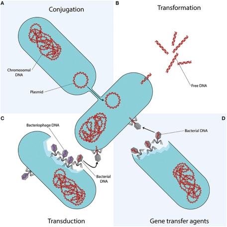 Figure depicting the mechanisms of horizontal gene transfer