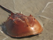 Horseshoe crab blood is invaluable for drug and safety testing, but unsustainable commercial demand threatens these 'living fossils': Frontiers in Marine Science
