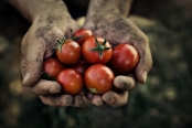 Farmers hands holding freshly picked tomatoes