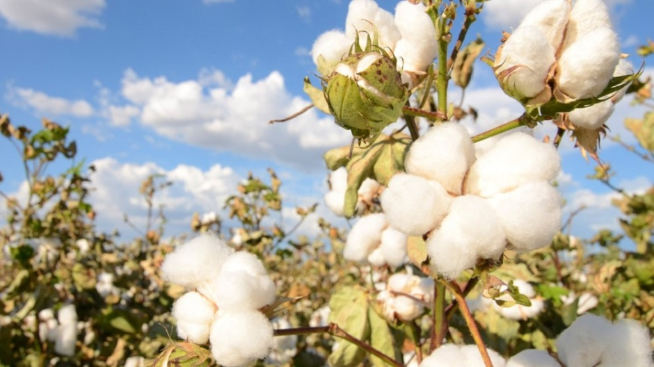 Frontiers in Bioengineering and Biotechnology: GM cotton in Mexico is delivering monster crops, without the Frankenstein – thanks to traditional farming practices and use of non-GM crop 'refuges'.