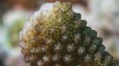 Image of coral Pocillopora damicornis:
