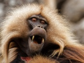 嘴巴张开的狒狒的形象。神经科学前沿的一项研究万博亚洲体育表明灵长类由于缺乏控制和协调声音产生所需的大脑机制,因此无法产生语言。