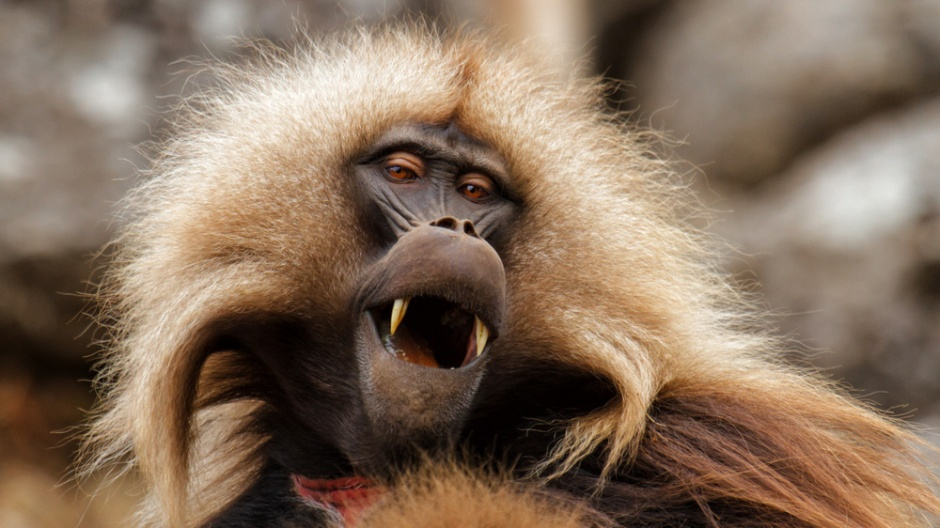Image of baboon with mouth open. A study in Frontiers in Neuroscience suggests primates are incapable of producing speech because they lack the brain mechanisms needed to control and coordinate vocal production