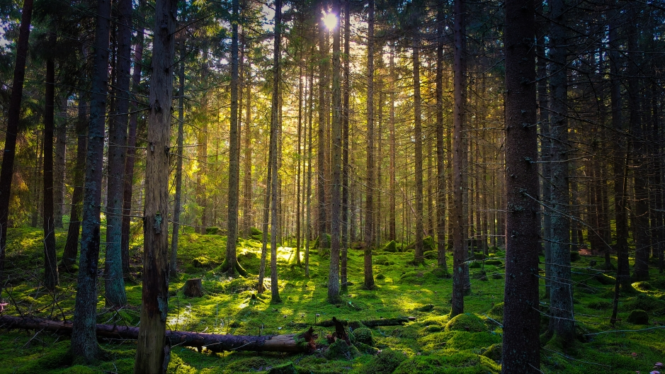 Cozy, mossy green forest with warm back-light in the sunset