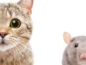 一只猫和一只老鼠的形象。研究表明,使用猫来控制城市老鼠任何好处是通过他们对鸟类和其他城市野生动物的威胁胜过:在生态和进化前沿万博亚洲体育