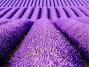 Frontiers in Behavioral Neuroscience: A new study shows that the famous relaxing effects of lavender rely on sense of smell -- and that the active compound linalool could be used medically to treat anxiety