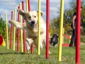 万博亚洲体育兽医学前沿:一项新的研究表明,犬类智力测试可以用来挑选表现最好的犬类,这可以使训练工作犬的成本更低、速度更快。