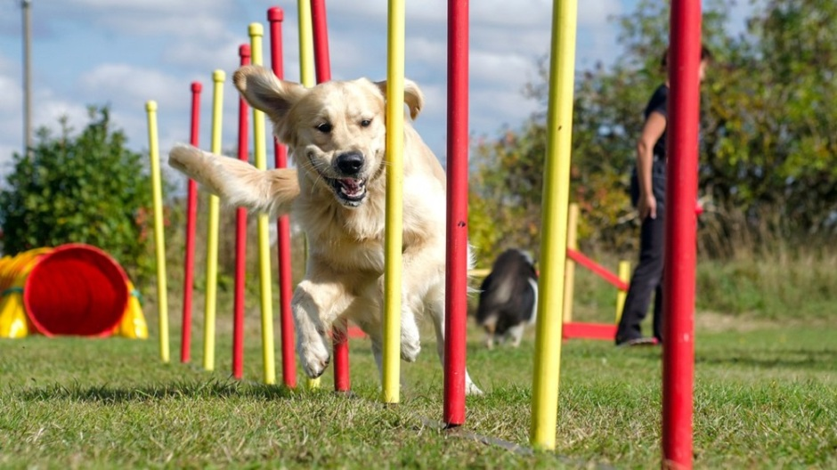 Frontiers in Veterinary Science: A new study demonstrates canine intelligence tests can be used to select top performers, which could make training of working dogs cheaper and faster.