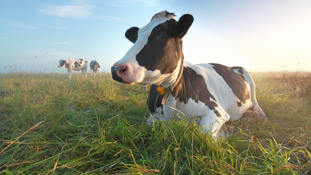 Image of a cow in a field. A fast new way of checking nutrient levels in grasslands allows farmers to quickly monitor changes in pasture nutrients and adapt their animals' grazing methods accordingly: Frontiers in Sustainable Food Systems