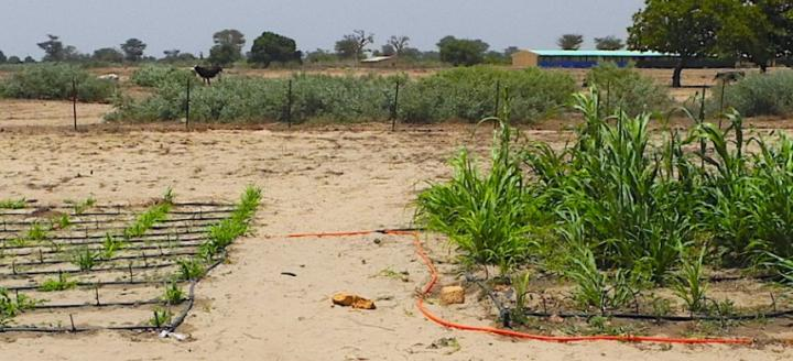 Image of millet crops grown with and without a drought-resistant native plant can irrigate food crops. Research on agriculture published in Frontiers in Environmental Science