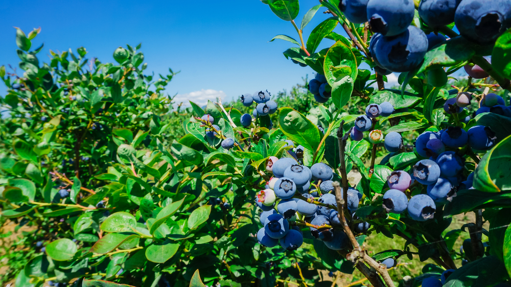 Frontiers in Plant Science: Intercropping with grasses is an effective and sustainable alternative to chemical treatments for maximizing blueberry yield and antioxidant content in limey soils