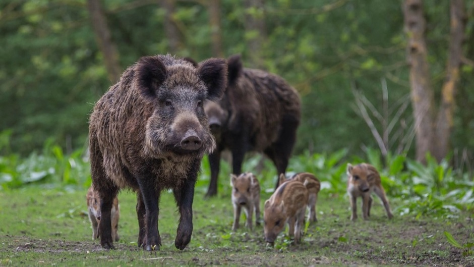 Frontiers in Veterinary Science: New study shows wild boar can be immunized against the most significant worldwide threat to the swine industry by a vaccine administered via their food
