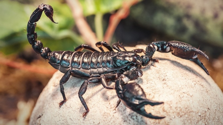 Frontiers in Ecology and Evolution; Scorpions adapt their stinging, stingers and sting contents to minimize the costs of venom use