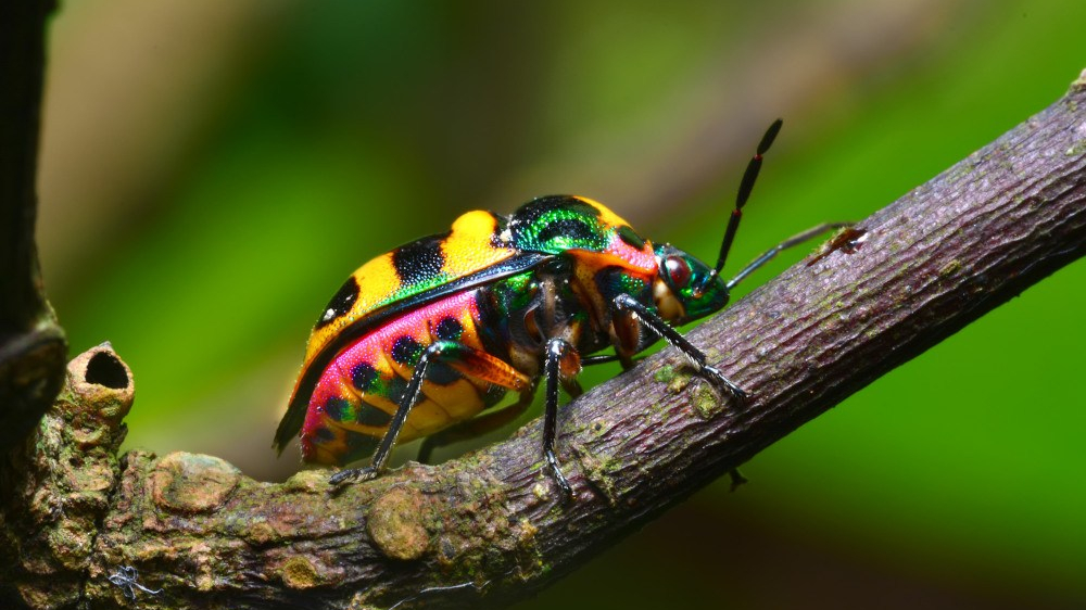 Colorful stinkbug on a branch