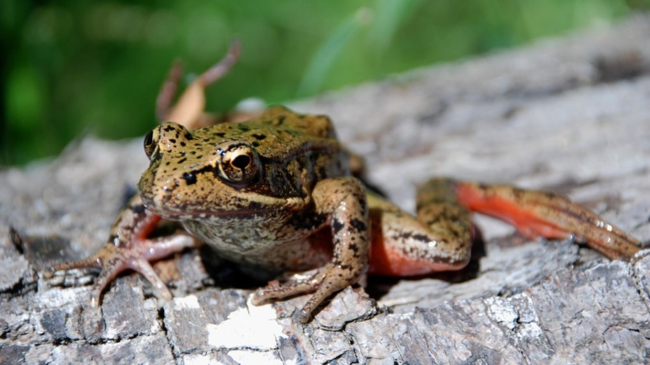 Frontiers in Ecology and Evolution; New Oregon State University research shows that juvenile northern red-legged frogs that have experienced climate-related stress as tadpoles are less likely to move on land, putting their survival at risk.
