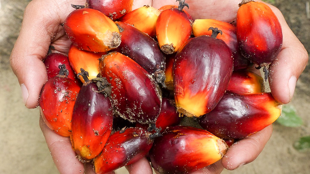 Image of oil palm fruits. International team led by the University of Göttingen investigates environmentally sustainable palm oil production, in Frontiers in Forests and Global Change