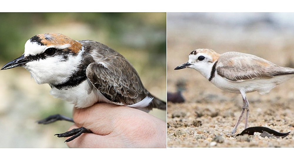 The Kentish Plover (right) and White-faced Plover (left) are look very similar but are in fact different species, finds study in Frontiers in Genetics.