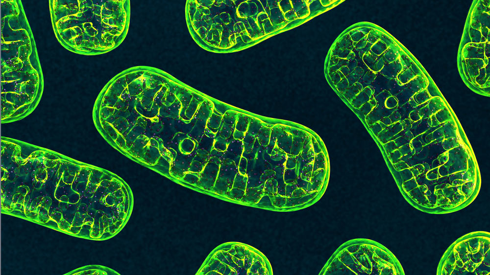 Image of Mitochondria. Study finds self-cannibalizing mitochondria may set the stage for ALS development