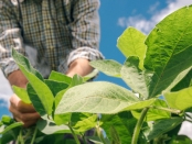 Farm worker controls development of soybean plants. Agronomist checking soya bean crops growing in the field.