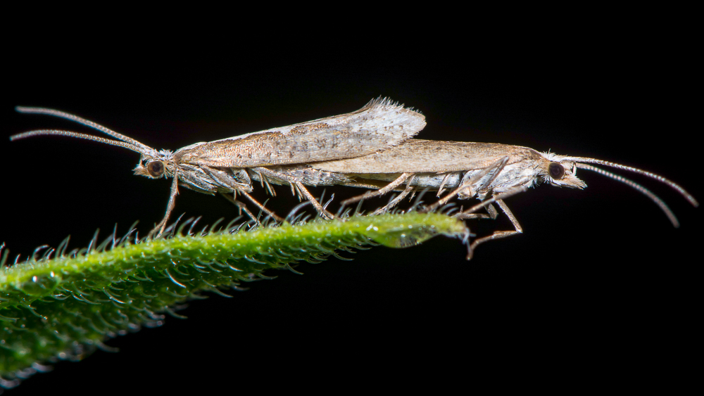 Image of mating Diamondback Moths. A newly published study reports a successful, first-ever open-field release of a self-limiting, genetically engineered diamondback moth, stating that it paves the way for an effective and sustainable approach to pest control: Frontiers in Bioengineering and Biotechnology