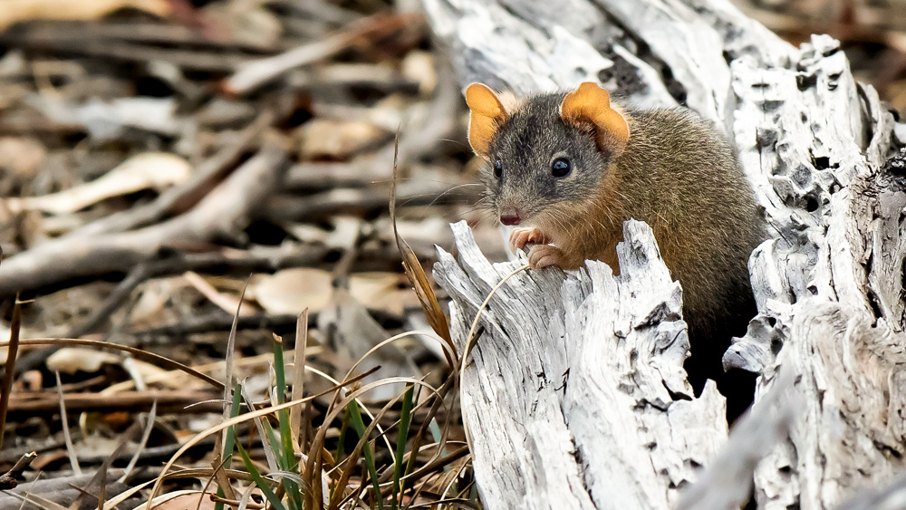 Image of Antechinus flavipes. Temperature experiments found that a shrew-like species may not be able to physiologically respond to prolonged heat waves: Frontiers in Physiology