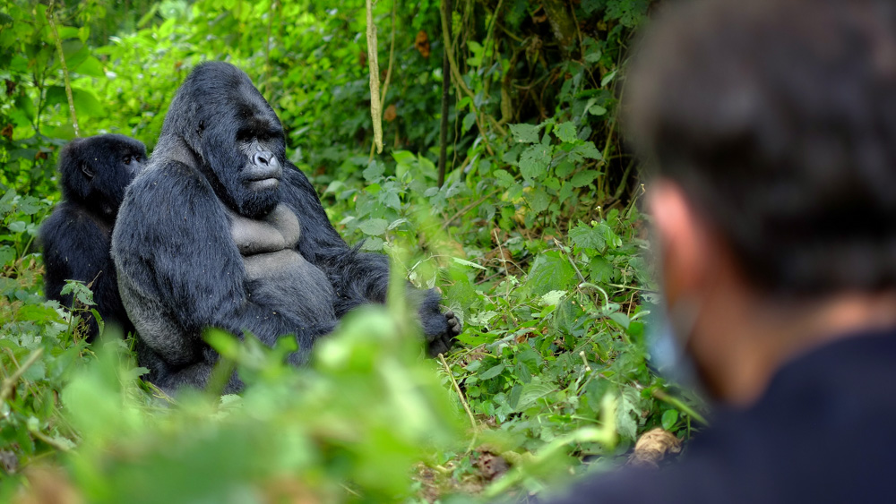 Image of tourist taking picture of two gorillas. Researchers at Ohio University and Ugandan scientists caution that humans place gorillas at risk of disease transmission: Frontiers in Public Health