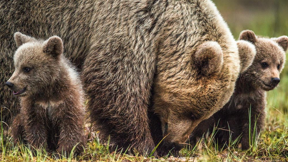 Image of Grizzly bear with her two cubs. A case study suggests that involving locals in designing grizzly bear conservation policies could reduce frustrations and make such policies more successful: Frontiers in Ecology and Evolution