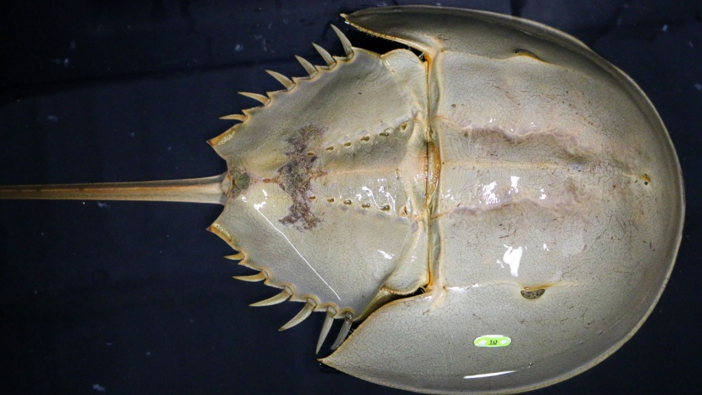 Image of a horseshoe crab: Sustainable harvesting of Limulus Amebocyte Lysate (LAL) could save hundreds of thousands of horseshoe crabs per year and enable novel, potentially life-saving clinical uses for humans: Frontiers in Marine Science